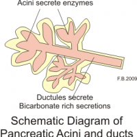 diagram of human pancreas